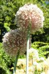 Porree Lauch Bluete weiss mit Hummeln Allium porrum 10