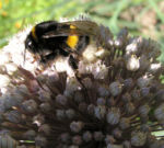 Porree Lauch Bluete weiss mit Hummeln Allium porrum 20