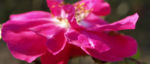 Portlandrose Bluete pink Rosa rosa 03