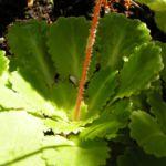 Porzellanblümchen Blatt grün Saxifraga umbrosa 01