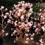 Porzellanblümchen Blüte weiß pink Saxifraga umbrosa 07