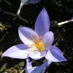 Pracht Krokus Bluete hellblau Crocus speciosus 01