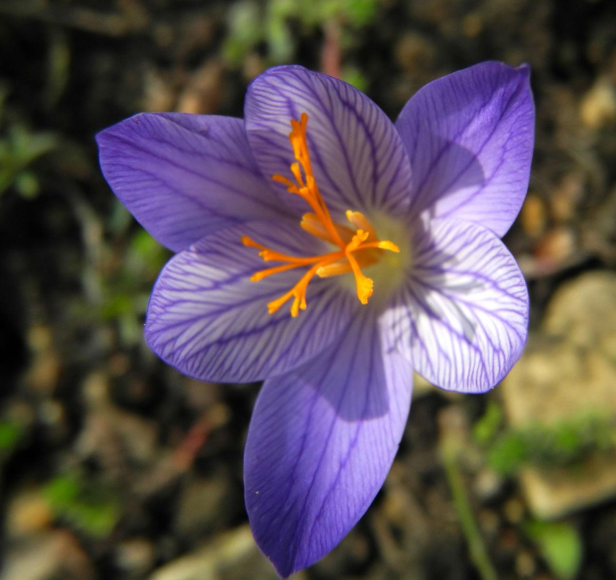 Pracht Krokus Bluete lila Crocus speciosus