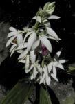 Pracht Orchidee Bluete weiss Phaius tankervilleae 05