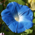 Prachtwinde Bluete hellblau Ipomea tricolor 06