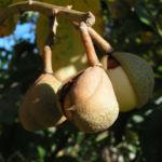 Praechtige Rosskastanie Frucht braun gruenlich Aesculus splendens 04