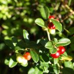 Preiselbeere Frucht rot Vaccinium vitis idaea 04