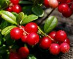 Preiselbeere Strauch Frucht rot Vaccinium vitis idaea 02