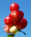 Preiselbeere Strauch Frucht rot Vaccinium vitis idaea 03