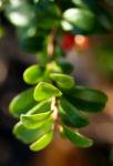 Preisselbeere Beere rot Vaccinium vitis idaea 03