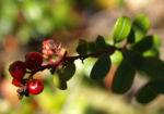 Preisselbeere Beere rot Vaccinium vitis idaea 04