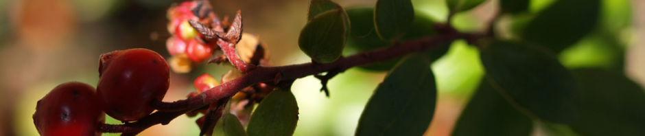 preisselbeere-beere-rot-vaccinium-vitis-idaea