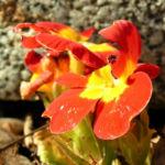 Primel Bluete gelb orangerot Primula vulgaris 02