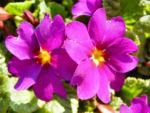 Primel Bluete violett Primula vulgaris 08