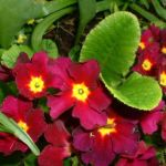 Primel dunkelrot Primula 02