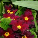 Primel dunkelrot Primula 03