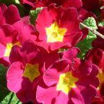 Primel knallrot Primula 01