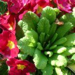 Primel knallrot Primula 03