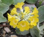 Primula Schluesselblume Bluete gelb Primula auricula 04