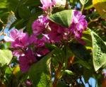 Prinzessinnenblume Bluete lila Tibouchina granulosa 05