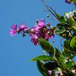 Prinzessinnenblume Bluete lila Tibouchina granulosa 06