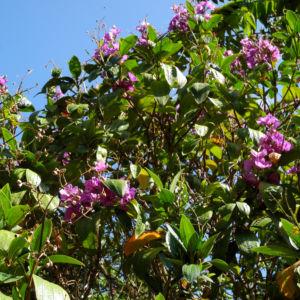 Prinzessinnenblume Bluete lila Tibouchina granulosa 08