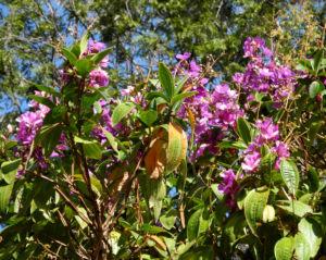 Prinzessinnenblume Bluete lila Tibouchina granulosa 09