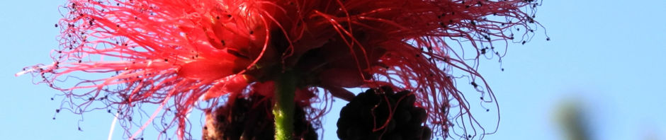 puderquastenstrauch-bluete-rot-calliandra-haematocephala