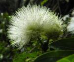 Puderquastenstrauch Bluete weiß Calliandra haematocephala 07
