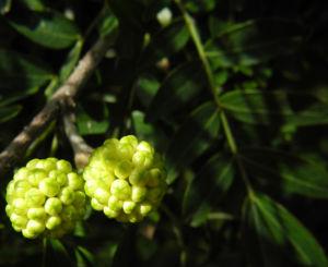 Puderquastenstrauch Knospe gruen Calliandra haematocephala 02