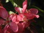 Purpur Apfel Bluete rot Malus purpurea 05