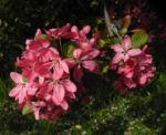 Purpur Apfel Bluete rot Malus purpurea 11