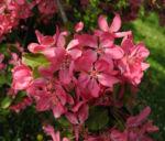 Purpur Apfel Bluete rot Malus purpurea 12