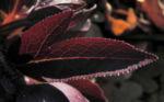 Purpur Nieswurz Blatt dunkelrot Helleborus purpurascens 08