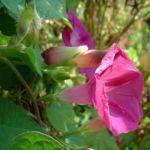 Purpur Prunkwinde Ipomoea purpurea 03