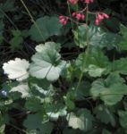 Purpurgloeckchen Bluete rot Heuchera x brizoides 01