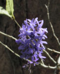 Purpurkranz Blüte blau Petrea subserrata 01