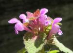 Purpurrote Taubnessel Bluete pink Lamium purpureum 05