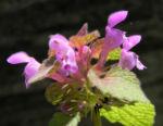 Purpurrote Taubnessel Bluete pink Lamium purpureum 09