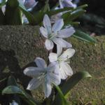 Puschkinien Blaustern Bluete weiss Scilla puschkinioides 11