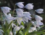 Puschkinien Blaustern Bluete weiss Scilla puschkinioides 13