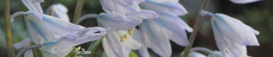 puschkinien-blaustern-bluete-weiss-scilla-puschkinioides