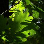 Pyramiden Eiche Eicheln Quercus robur var Fastigiata 09