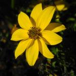Quirlblaettriges Maedchenauge Bluete gelb Coreopsis verticillata 04