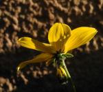Quirlblaettriges Maedchenauge Bluete gelb Coreopsis verticillata 08