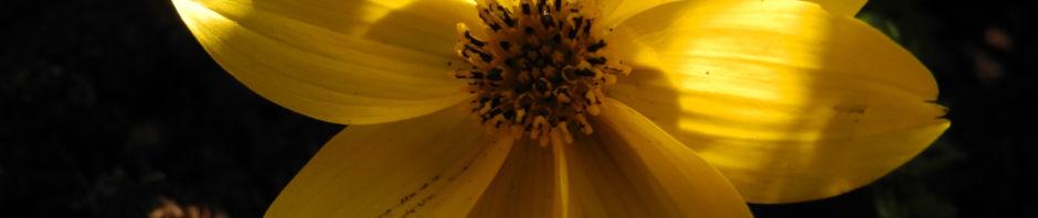 quirlblaettriges-maedchenauge-bluete-gelb-coreopsis-verticillata