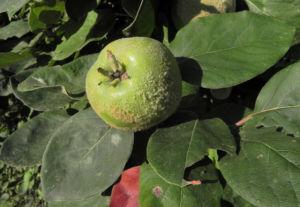 Quitte Baum Frucht gruen Cydonia oblonga 01