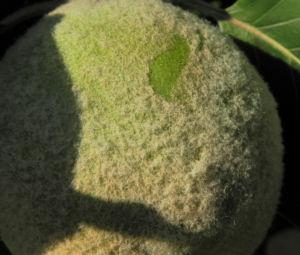 Quitte Baum Frucht gruen Cydonia oblonga 02