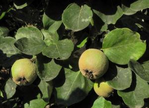Quitte Baum Frucht gruen Cydonia oblonga 03