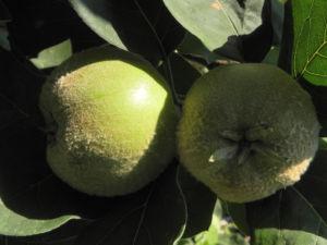 Quitte Baum Frucht gruen Cydonia oblonga 06